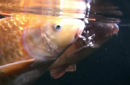 Sparsholt College – What can carp see?