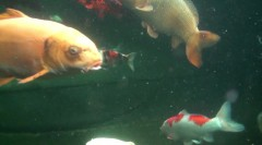 Sparsholt College – What is a Ghost Carp ?